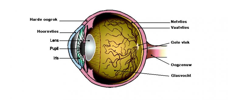 Anatomie van het oog