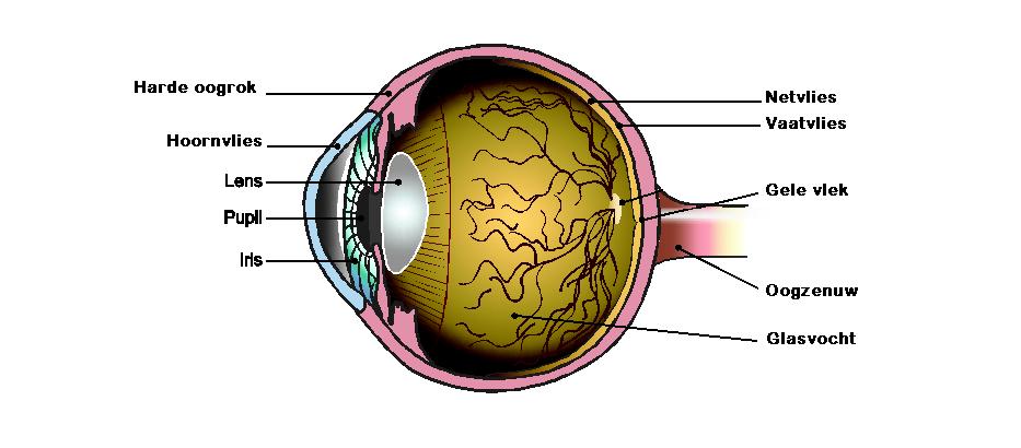 Anatomie van het oog   Optometristen Vereniging Nederland (OVN)